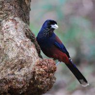 鹿児島県の県鳥で、主に照葉樹天然林に生息する美しい羽根のルリカケス/主要生息地:奄美大島