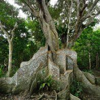 森の主のような存在感を漂わせるサキシマスオウノキ/西表島