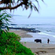 徳之島では闘牛は身近な存在。朝夕には、闘牛を浜辺で散歩する姿を見ることもできる/徳之島
