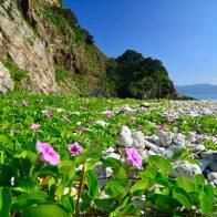 島の至るところで見られる『ノアサガオ』/奄美大島