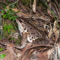 人の咳払いのような鳴き声が特徴のホルストガエル/主要生息地:やんばる(沖縄島北部)