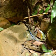西表島の森で出会った体長約15cmほどのイシガキトカゲ/主要生息地:西表島