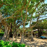 島の各集落でみることができるガジュマルの樹/加計呂麻島