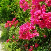 集落の垣根でのびやかに育つ美しいブーゲンビリア/竹富島