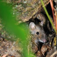 オキナワトゲネズミはやんばるの森のみに生息する絶滅危惧種/生息地:やんばる(沖縄島北部)