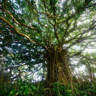 神秘的な雰囲気が漂う推定樹齢100年以上の『ガジュマル巨木』。その雄大な姿に心を奪われる/喜界島