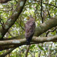 カンムリワシは国の特別天然記念物に指定されている貴重な鳥類/主要生息地:西表島